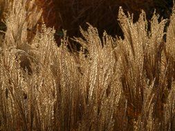 thickets of miscanthus in the glare of light