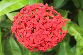 blooming red tropical flower