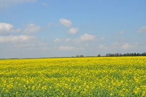 field rapeseed spring nature