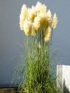 fluffy airy pampas grass plant close