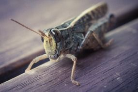 desert locust on a wooden surface close-up