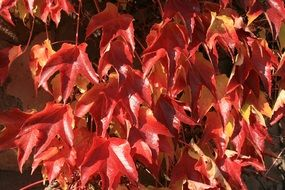 red autumn leaves of decorative maple