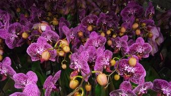 Purple phalaenopsis orchid flowers