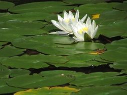 Aquatic white water lilies