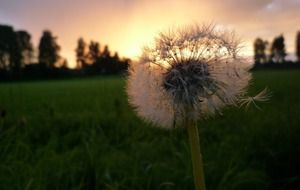 silhouette of a dandelion at sunset