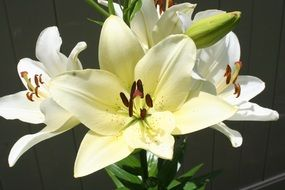 white garden lilies with buds close up