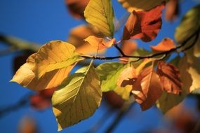 beech leaves in golden autumn macro photography