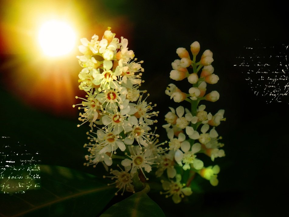 bayberry bloom and bright sun