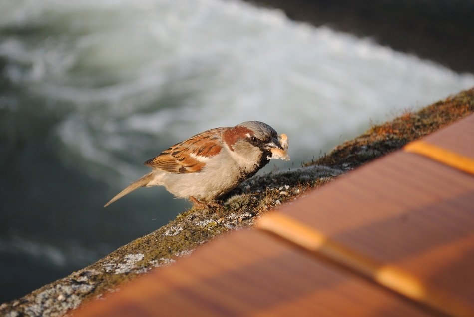 sparrow is sitting with food in its beak on a bench