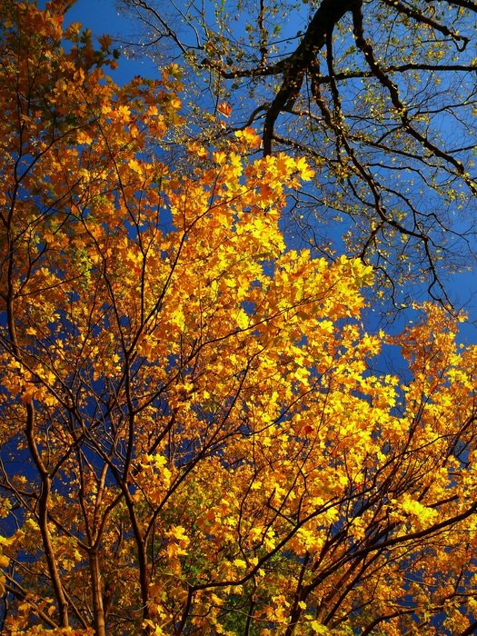 autumn colors, tree tops at sky