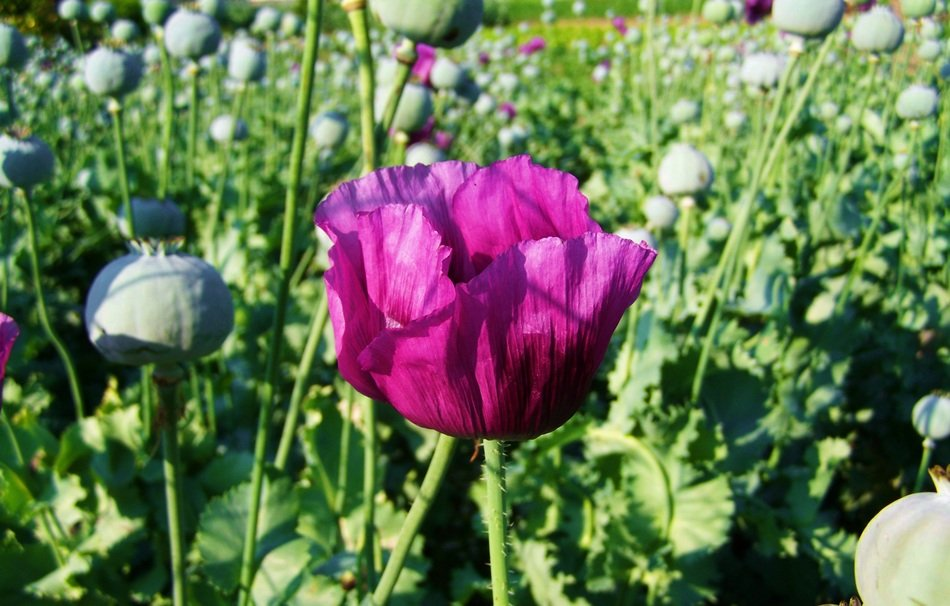 Purple Poppy among a field of poppies