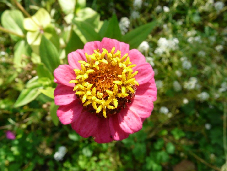 pink zinnia with a yellow center close-up