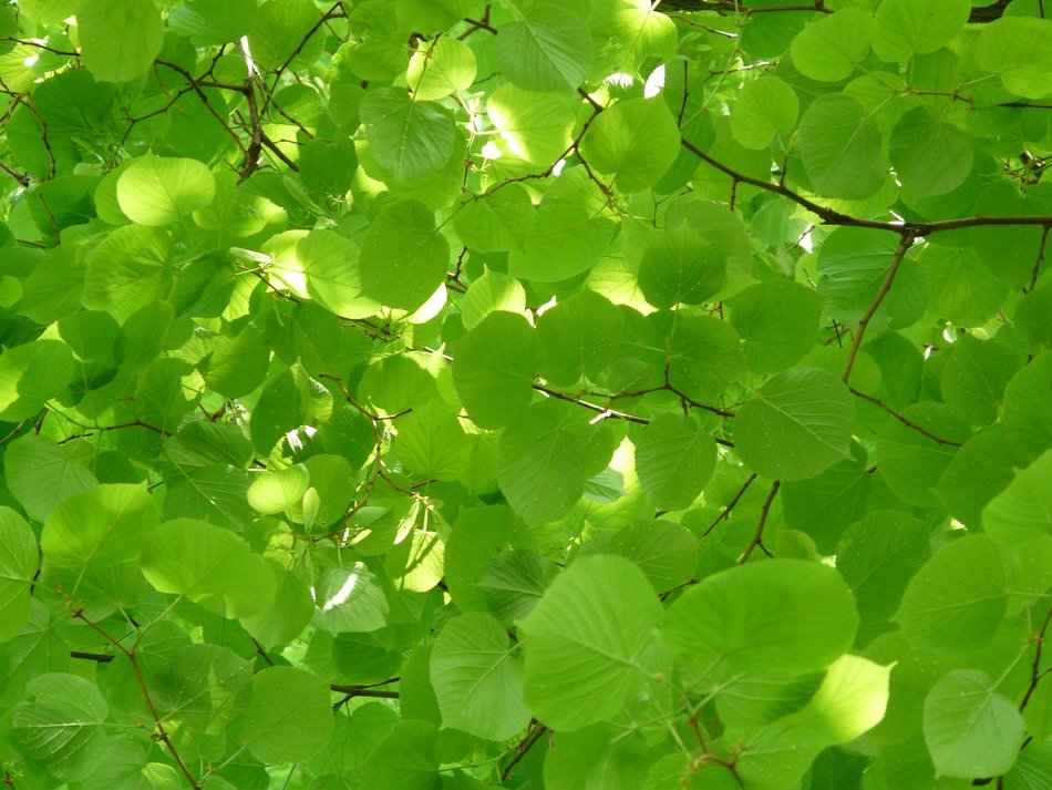 a lot of light-green leaves of linden