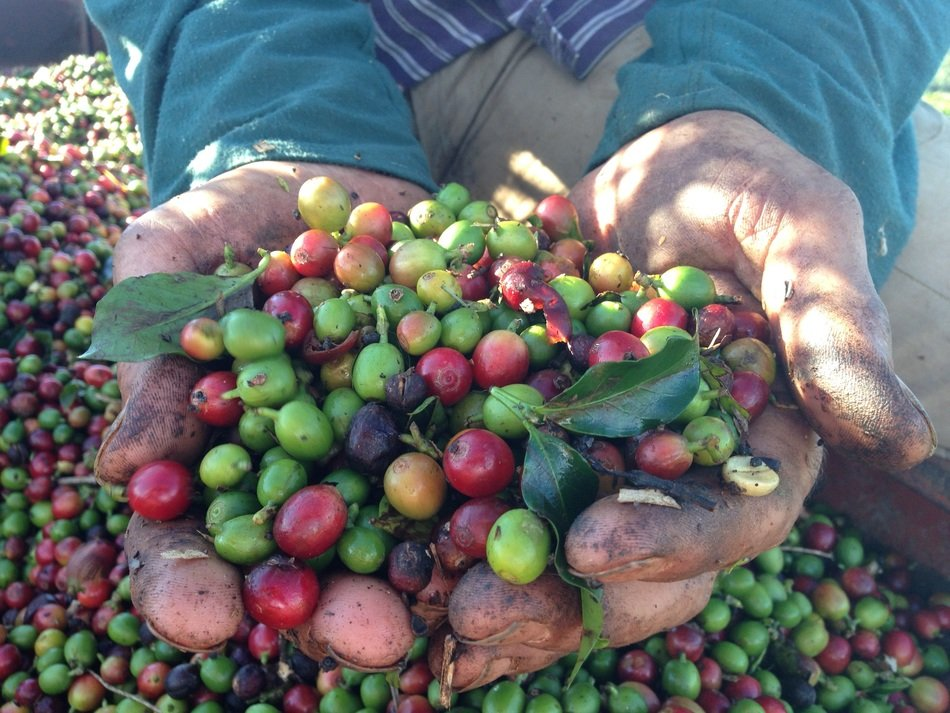 Coffee harvest in farmer's hands