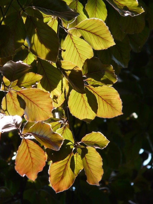 leaves Beech leaves in bright light