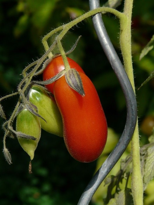 oblong tomatoes on a branch