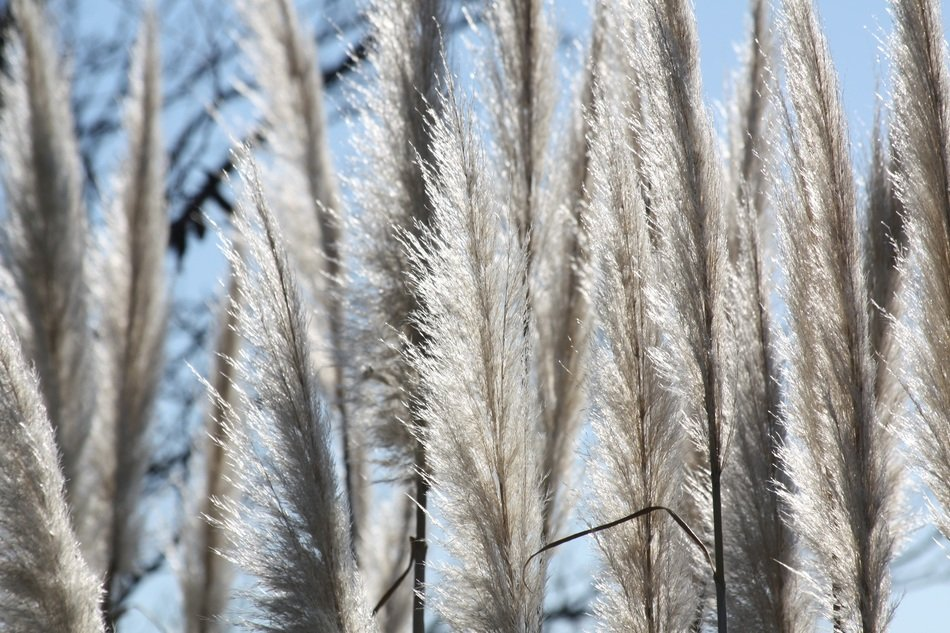 silver grass in the rays of the bright sun close-up