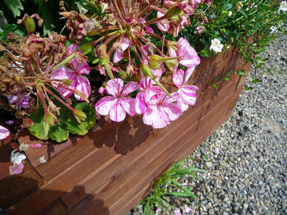 geranium with pink flowers in flower box outdoor