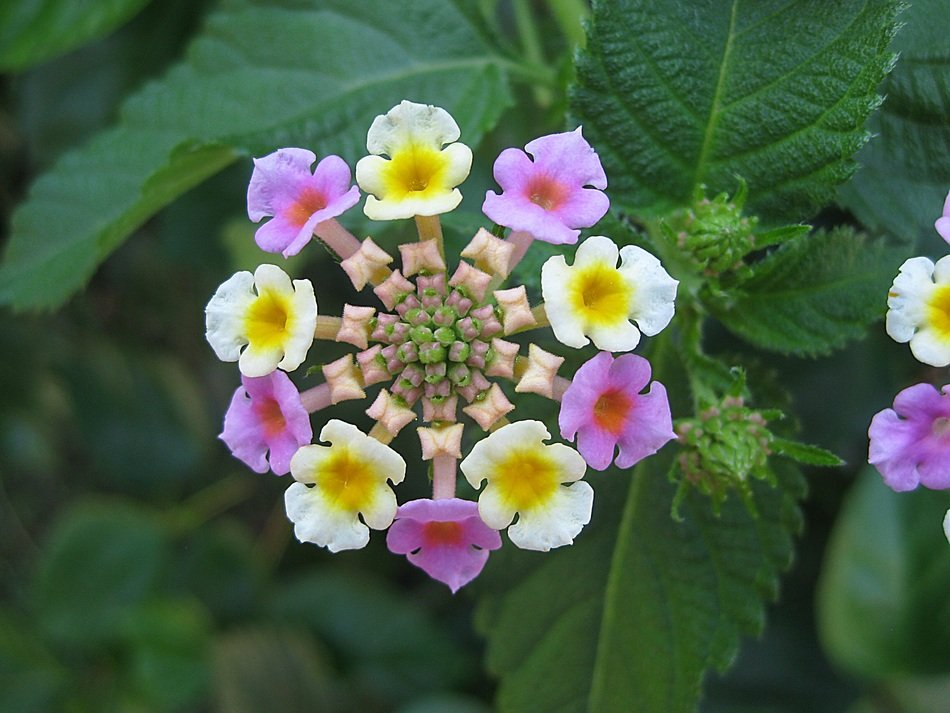Lantana, colorful flowers at green leaves