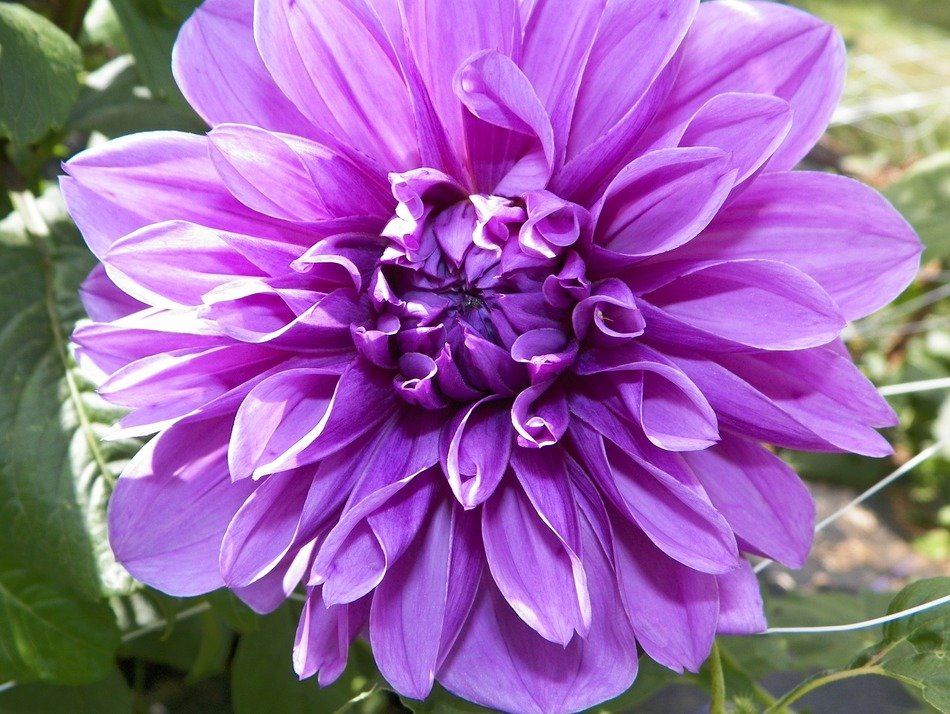 purple dahlia close-up