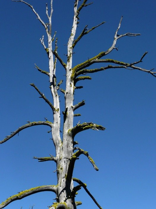 dry tree against the blue sky