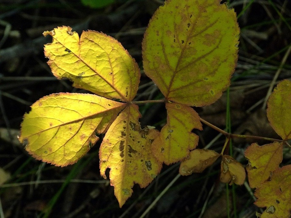 yellow damaged walnut leaves on the forest cover