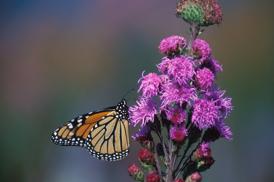 monarch butterfly flower blurred background