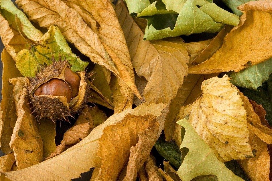 chestnut in the shell amongst autumn leaves