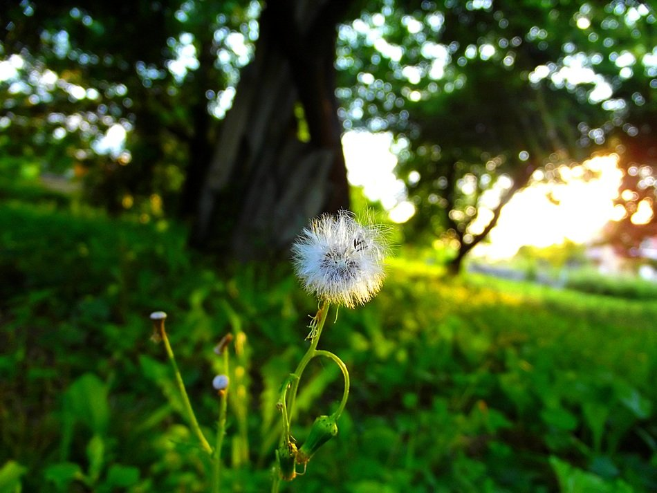 white dandelion on the edge of the forest