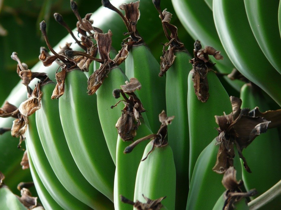 Green bananas on the tree