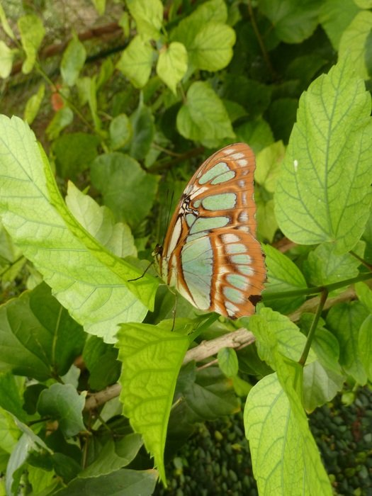 Butterfly among green leaves
