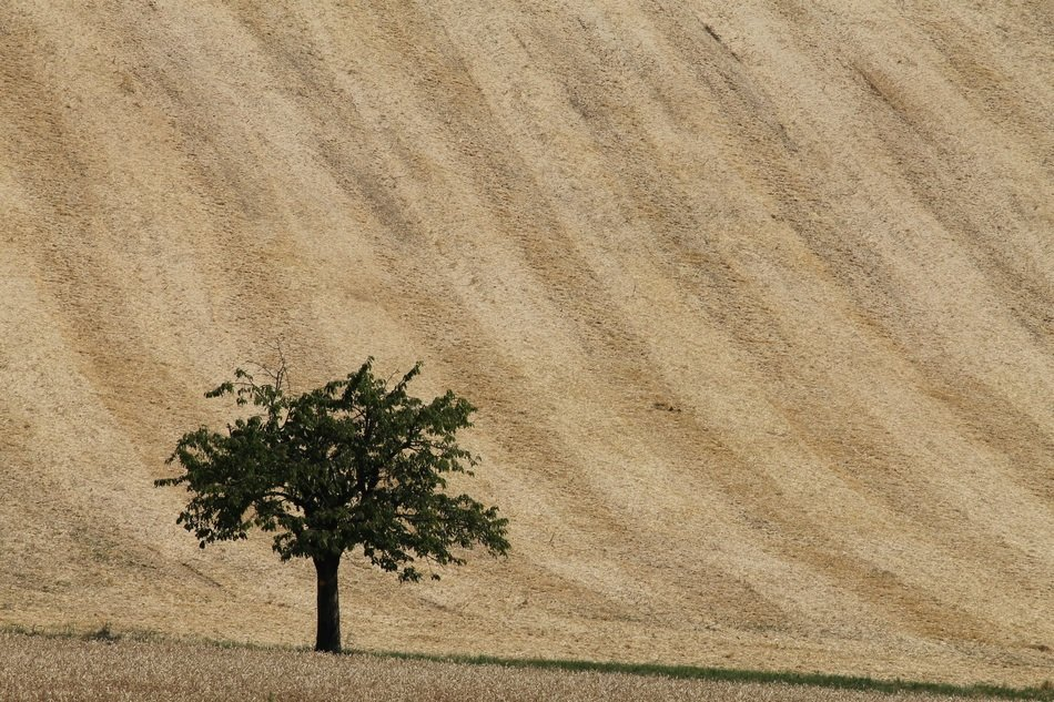 lonely tree at wheat field
