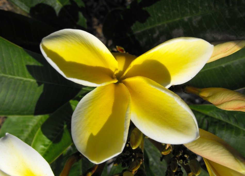 top view on a flower plumeria
