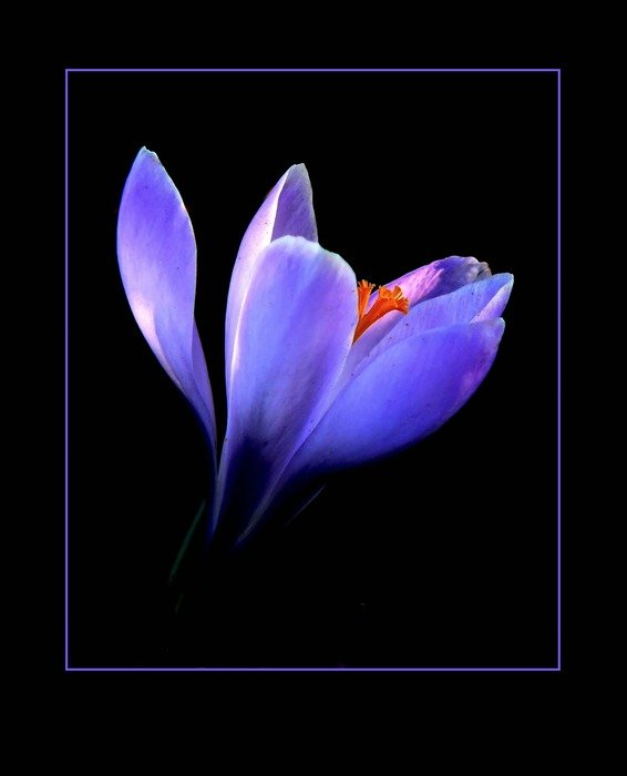 purple crocus flower macro