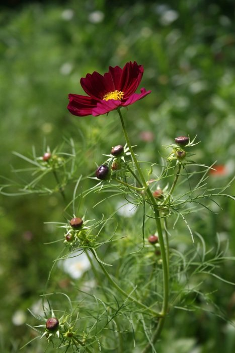 cosmos is a summer flower