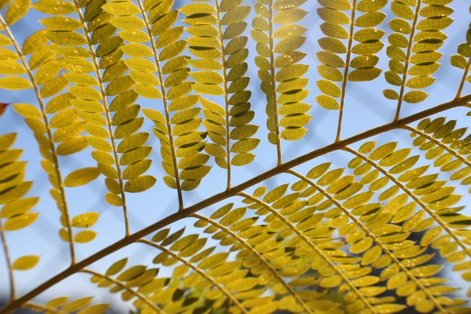 small yellow acacia leaves on a branch