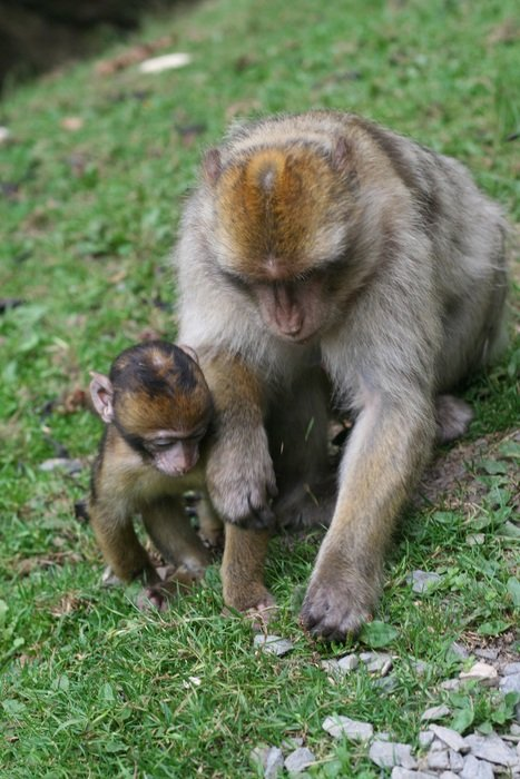monkey with her cub on a green grass