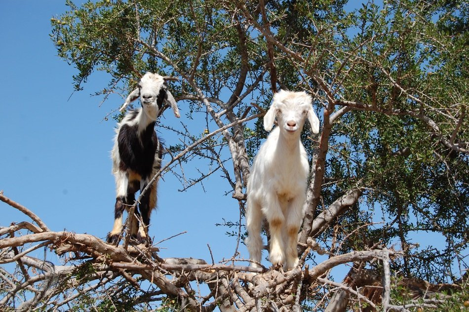 white and black-and-white goats on dry branches