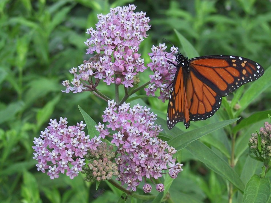 monarch milkweed butterfly