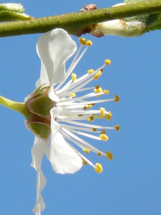 side view on a flower wild plum