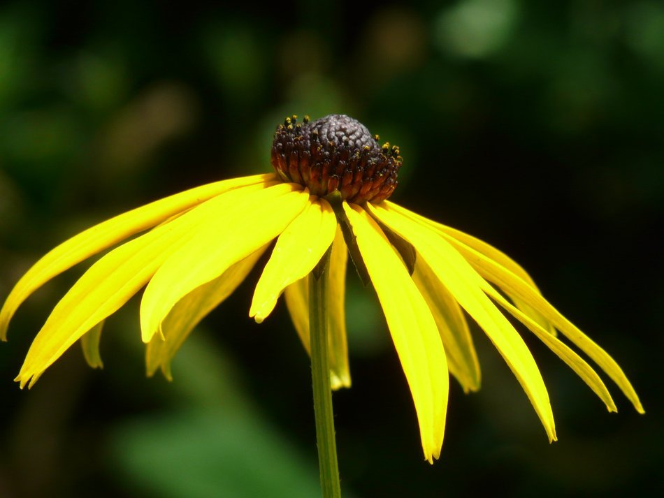 Yellow coneflower close-up