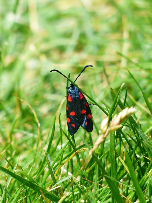 red black spotted butterfly