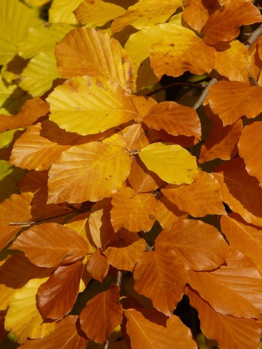 bright yellow leaves of European beech