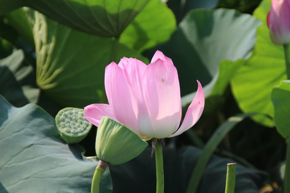 pink lotus among large leaves on a pond