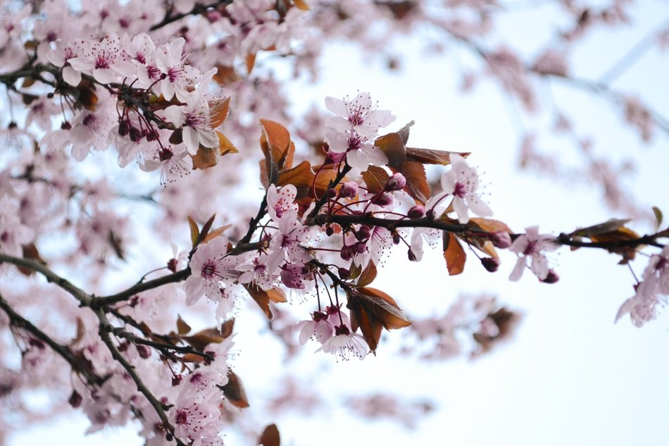 pink flowers on a plum tree in spring