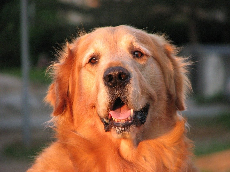 beautiful golden retriever dog
