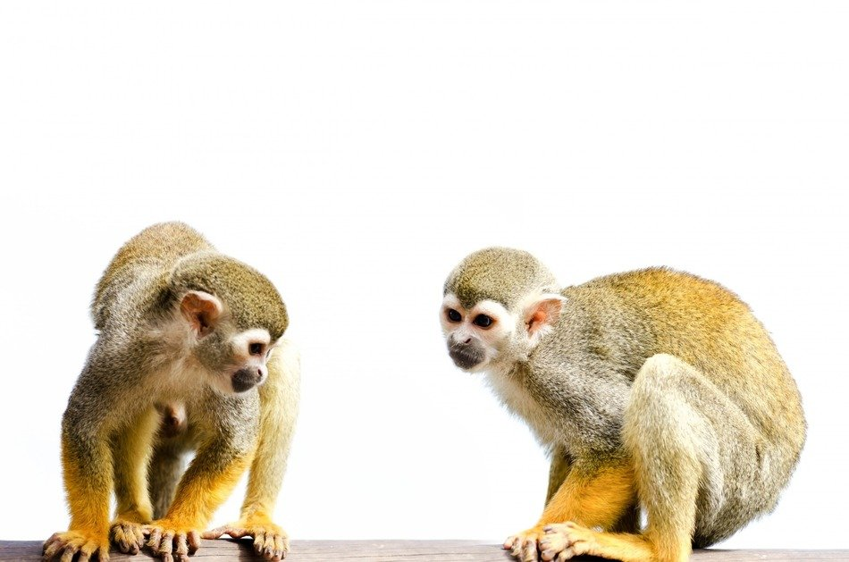 two cute monkeys on a white background