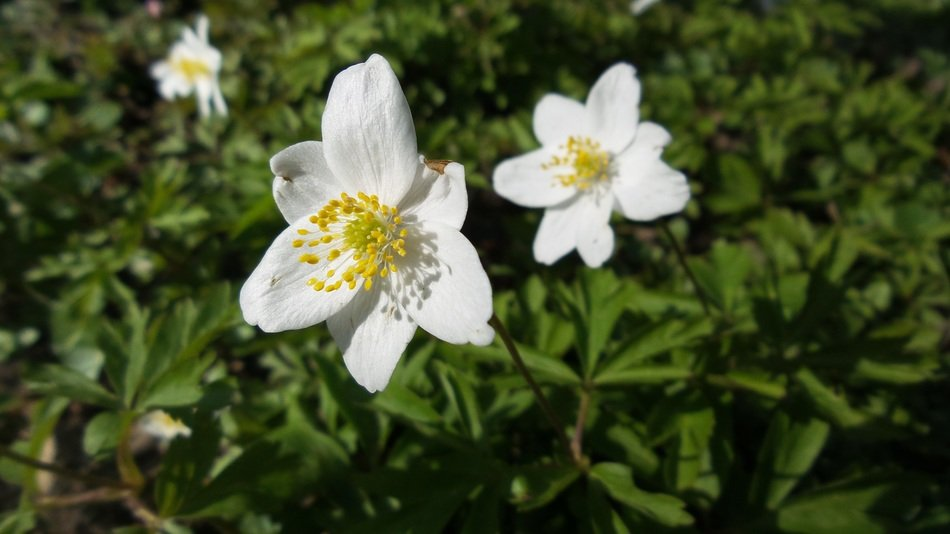 white wood anemone blossoms