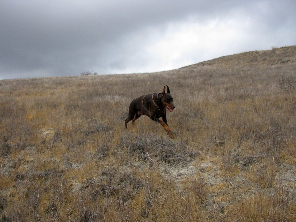 Doberman running on the field