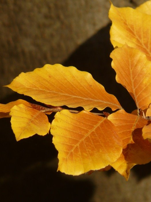 golden branch of European beech